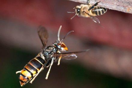 Frelons asiatiques et abeilles