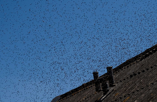 Image d'un essaim d'abeilles lors de son déplacement